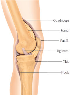 SN ZUK Knee Anatomy